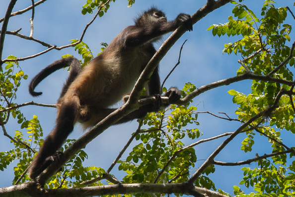 A curious monkey in the canopy of trees in Tikal Park in Guatemala