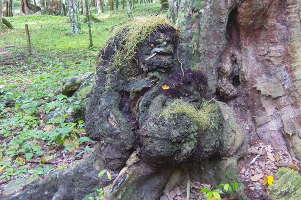 A natural work of art in the park surrounding Mayan temples at Topoxte in Guatemala