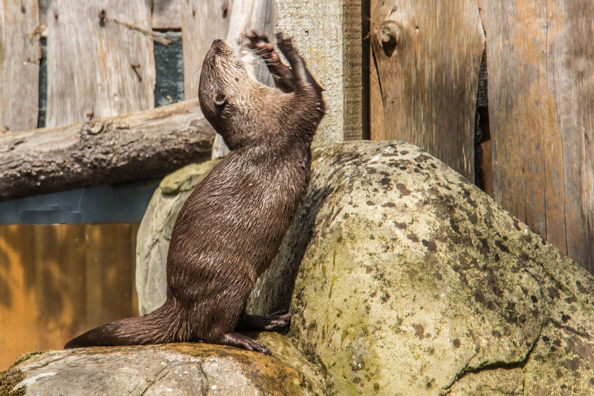 A Short Claw Asian Otter playing at Sea Life in Weymouth, Dorset, UK