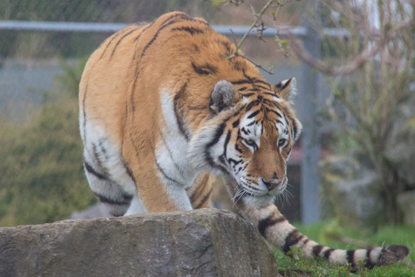 Amur tiger on the prowl at Marwell Zoo in Hampshire