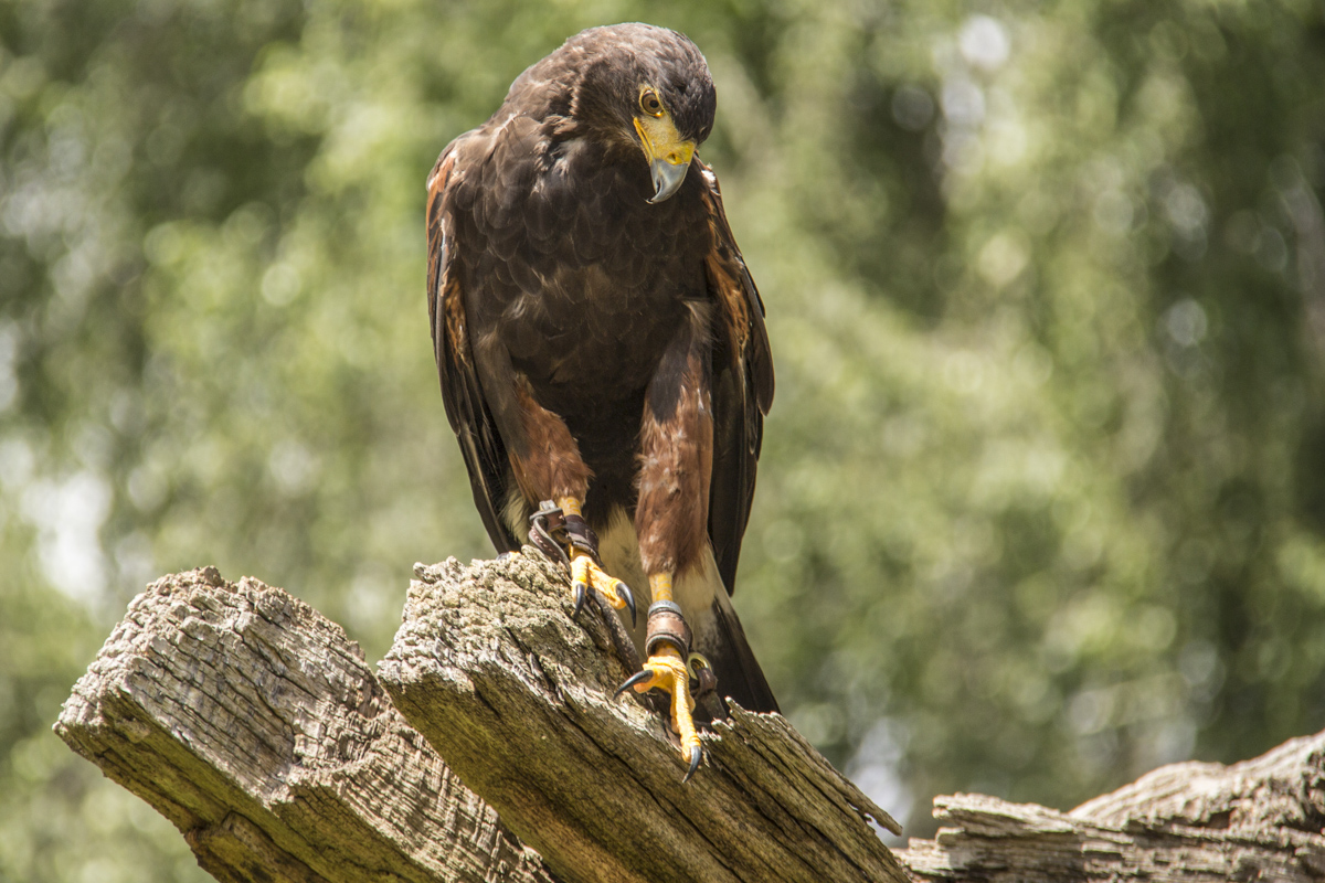 Annabelle, a Harris Hawk, in the Sherwood Forest, near Ollerton, Nottinghamshire in the UK 7866