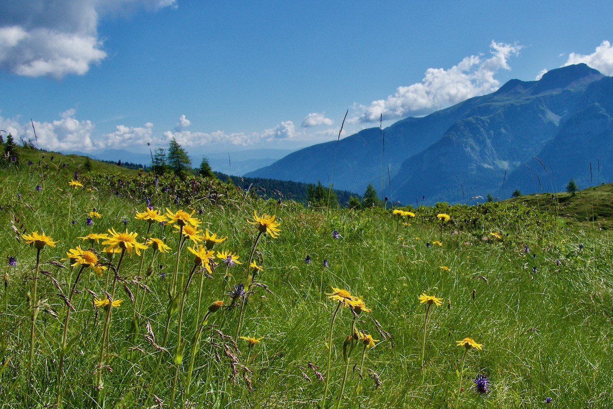 Arnica Growing on Pradalago in Madonna di Campiglio, Italy