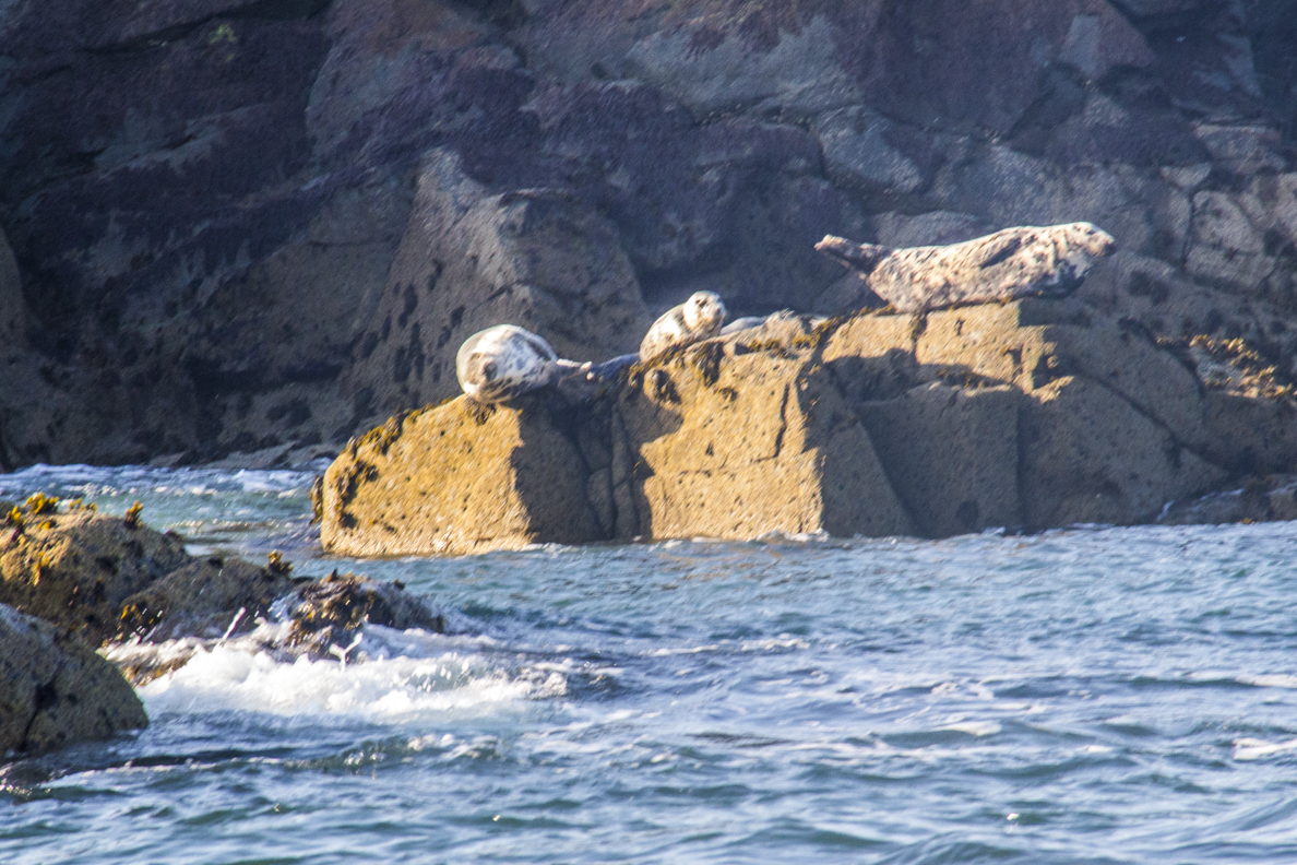 Basking seals on Ramsay Island, Pembrokehshire8867