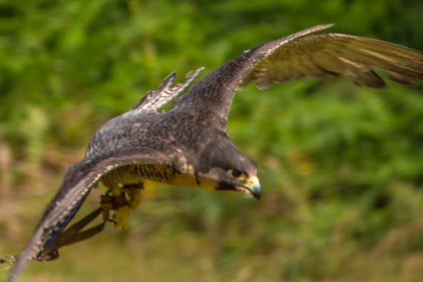 Bella, a peregrine falcon, at Sherwood Hideaway Near Ollerton, Notts, UK