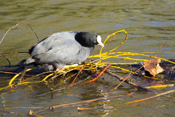 A coot building its nest in Verulamium Park St Albans