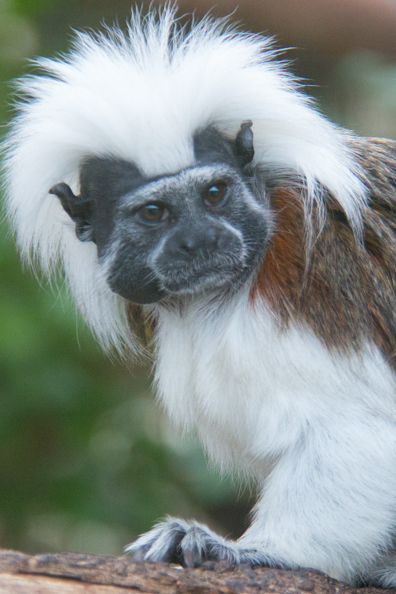 Cotton-top tamarin at Marwell Zoo in Hampshire