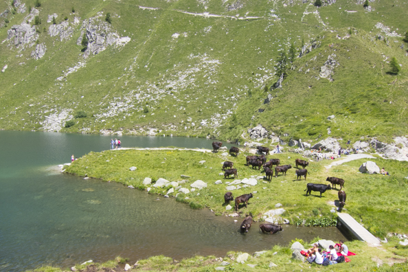 Cows and people cool down by Lago Ritorto, Madonna di Campiglio in Italy