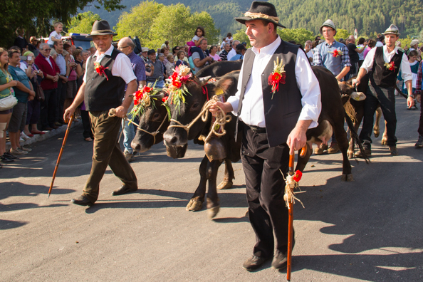 Cows being paraded through Pinzolo, Trentino in Italy