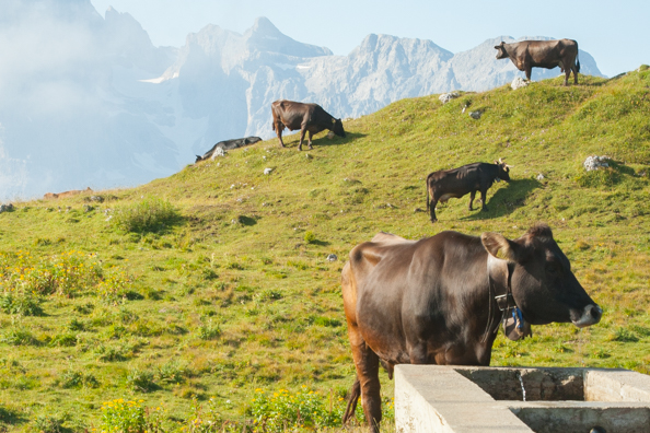 Cows grazing on Spinale in Madonna di Campiglio, Trentino in Italy