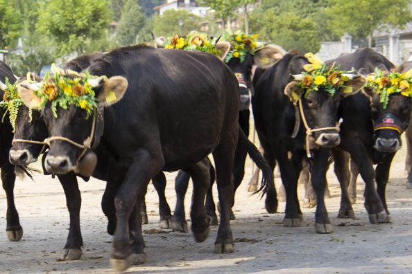Cows on parade in Pinzolo, Trentino a region of Italy