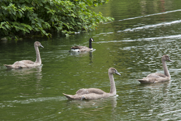 Cygnets on the lake at Kew Gardens in London