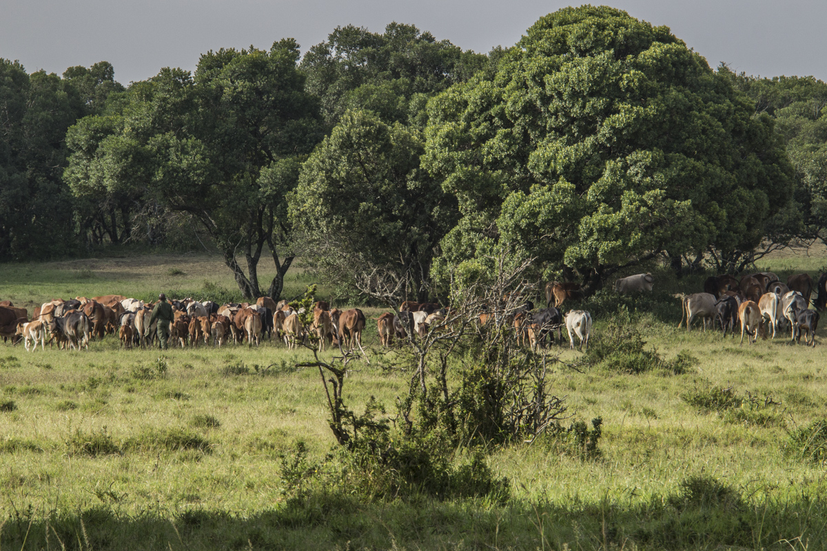 Dapash dealing with truant cows in the Enonkishu Conservancy, Kenya  0180