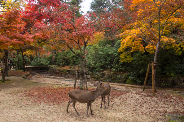 Deer in Momijidani Park on Miyajima  Island, Hiroshima in Japan