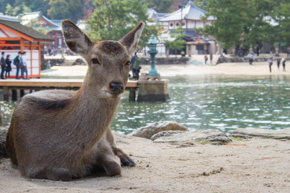 Deer on the waterfront of Miyajima Island in Japan