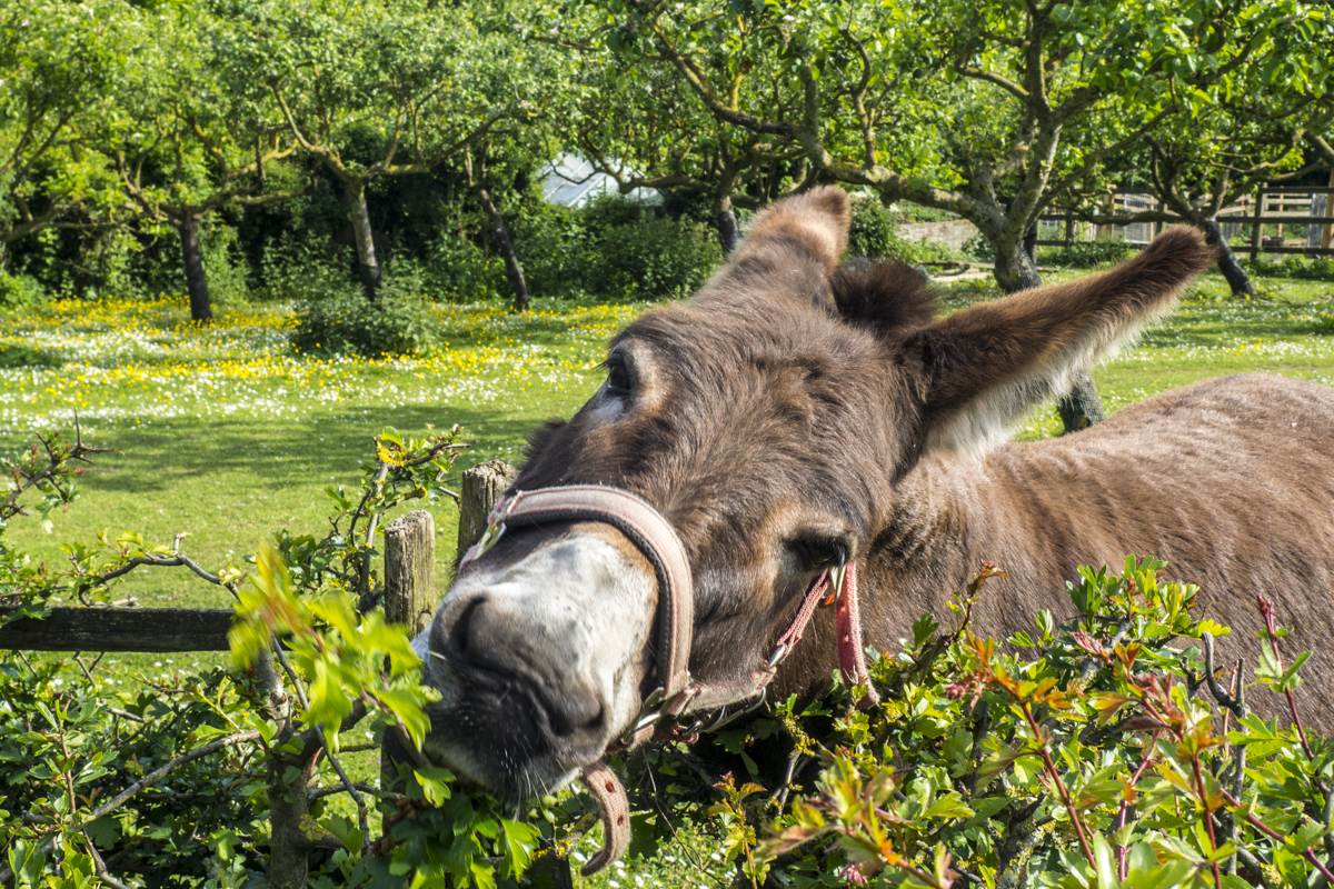 Donkey at Kent Life near Maidstone in Kent  5151798