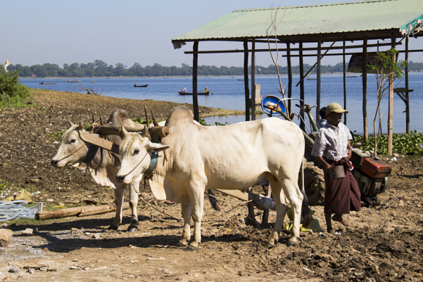 Farming on the shores of Taungthaman Lake  Myanmar in Myanmar