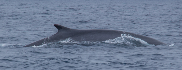 Fin Whale in the sea around Faial Island in the Azores
