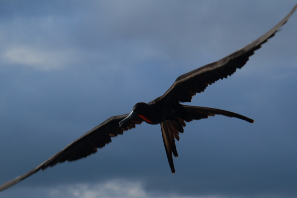 Frigate bird scavenging at the ferry terminal on Santa Cruz Island in the Galapagos Islands