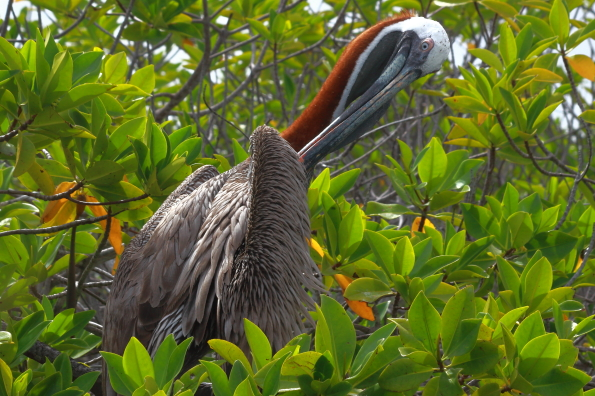A pelican preening in the trees at the ferry terminal on Santa Cruz Island in the Galapagos Islands