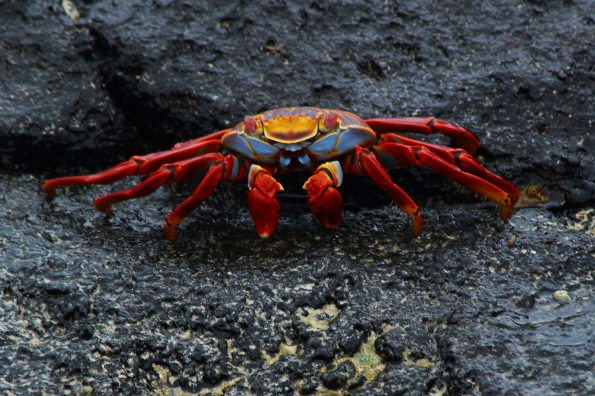 Sally Lightfoot Crab in the Galapagos Islands