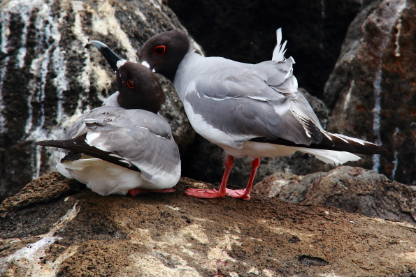 Swallow tailed gulls in the Galapagos Islands