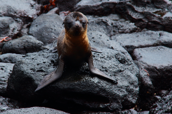 An inquisitive baby sea lion on North Seymour Island in the Galapagos Islands