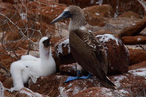 A blue-footed booby with its baby on North Seymour Island on the Galapagos Islands