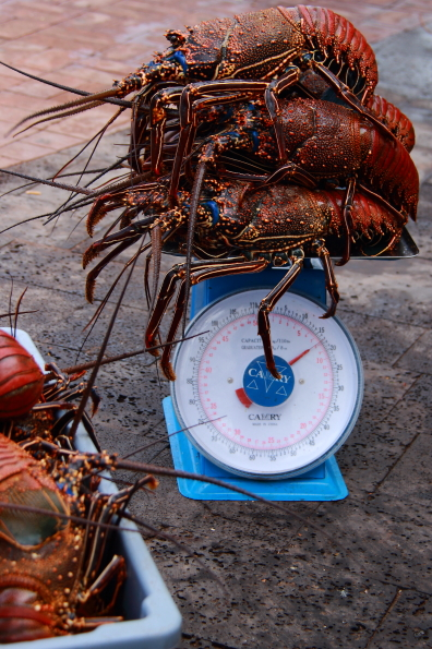 Lobsters being weighed at the fish market in Puerto Ayora on Santa Cruz in the Galapagos Islands