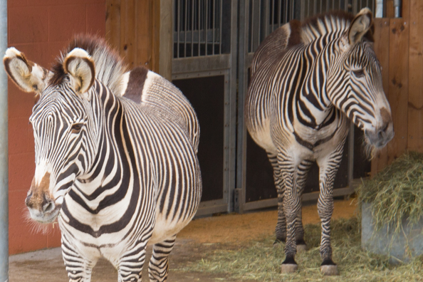 Grevy's zebra at Marwell Zoo in Hampshire