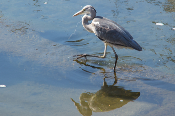 Grey heron in the Kamogawa River in Kyoto, Japan