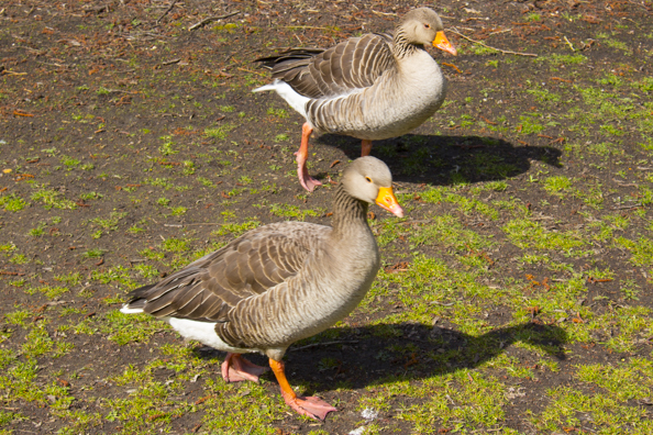 Greylag geese in Poole Park, Poole
