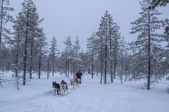 Husky Sledging in Kuhmo, Finland