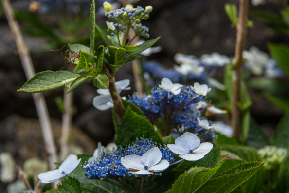 Hydrangea Villosa  growing wild on the island of São Miguel in the Azores
