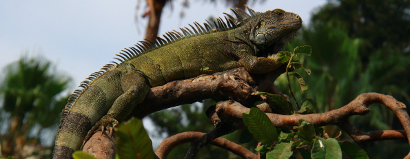 An Intrigue of Iguanas in Guayaquil, Ecuador
