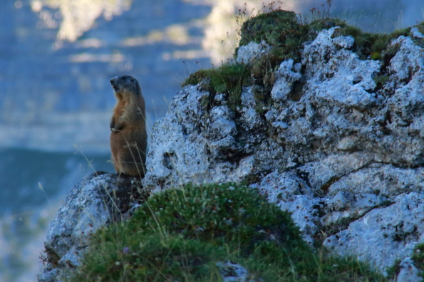 Marmot on sentry duty in the Dolomites