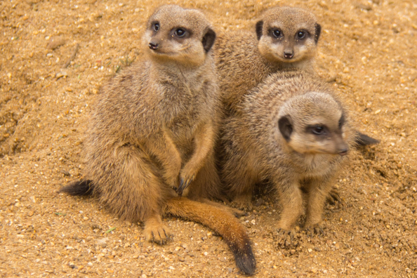 Meercats at Marwell Zoo in Hampshire