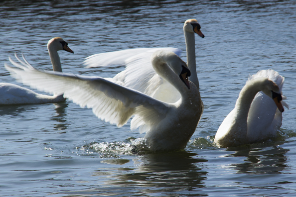 Mute Swans flirting on the boating lake in Poole Park near Poole  Harbour
