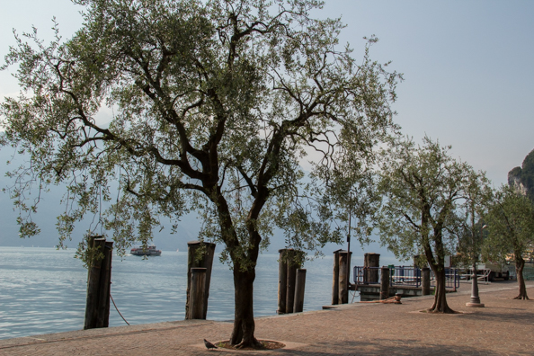 Olive trees growing round Lake Garda in Italy