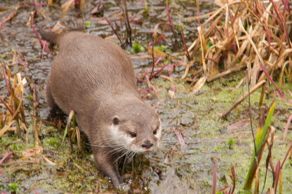 Oriental small-clawed otter at Marwell Zoo in Hampshire