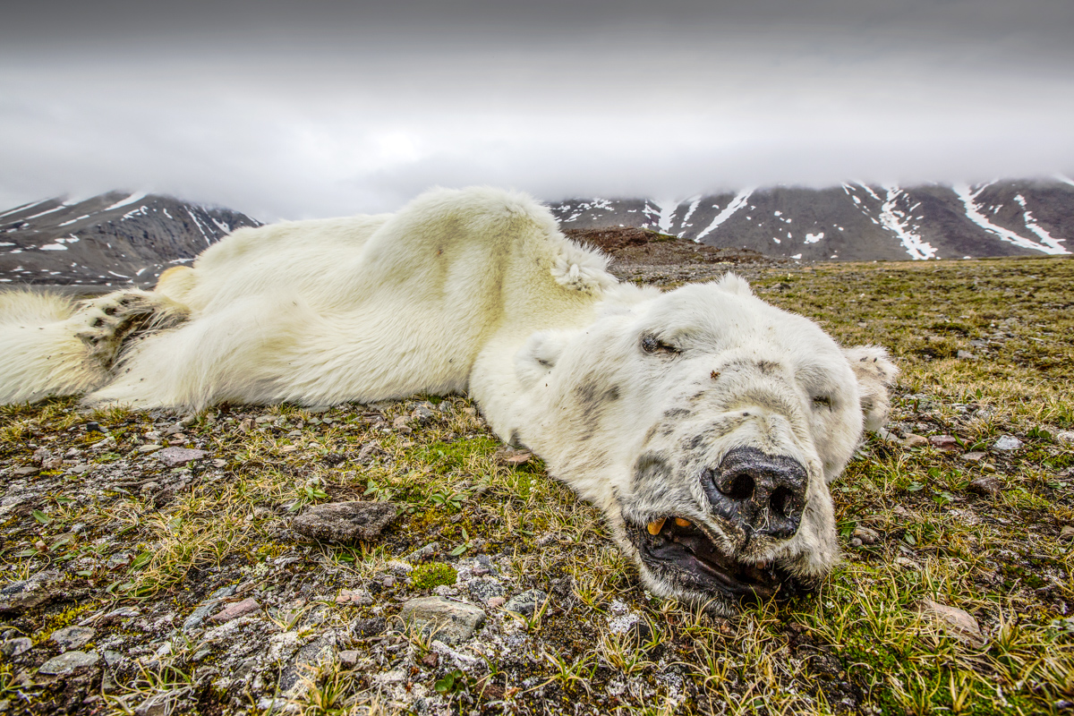 Polar Bear Reduced to Skin and Bones