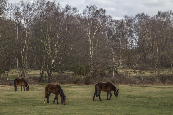 Ponies grazing in Lyndhurst in the New Forest, England