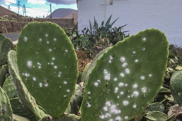 Prickly pears covered in Cochineal beetles on Fuerteventura