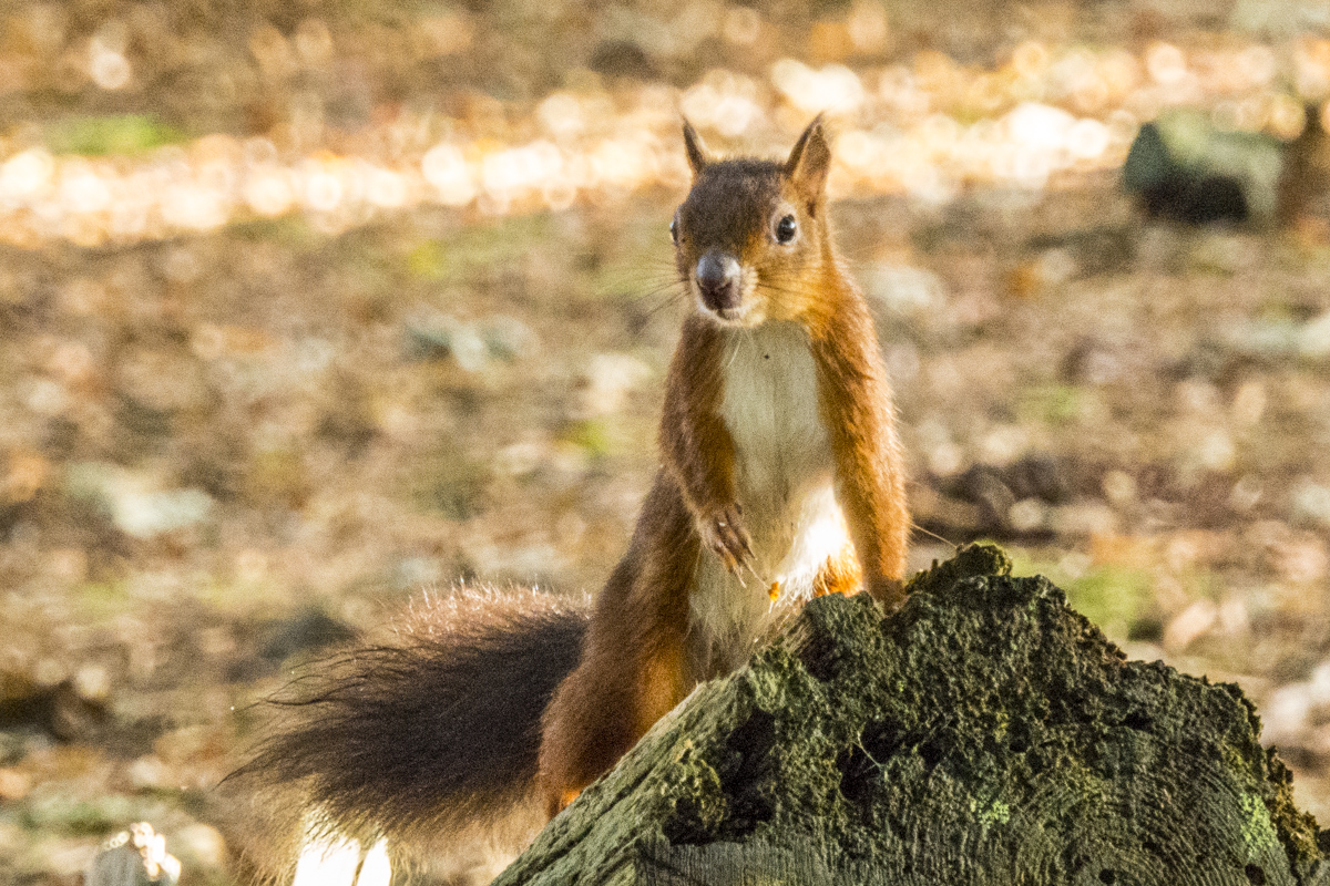Red Squirrel on Brownsea Island in Dorset 100228