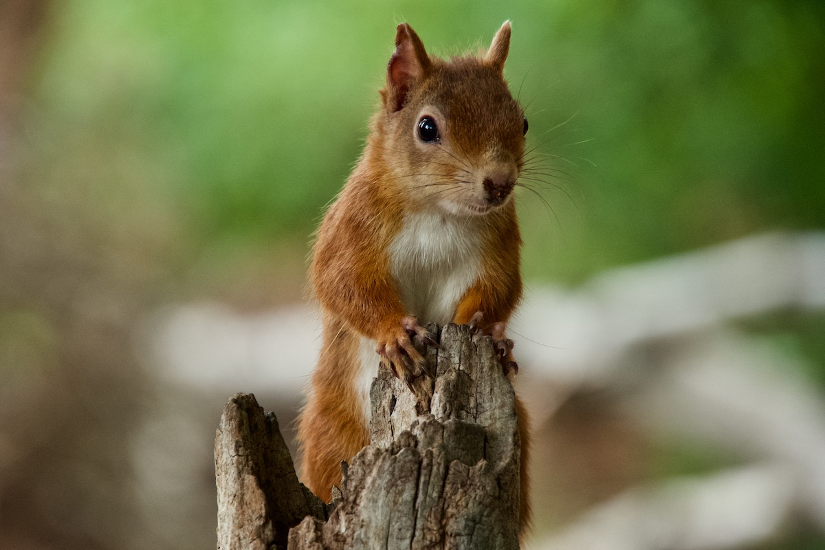 Red Squirrel on Brownsea Island in Dorset