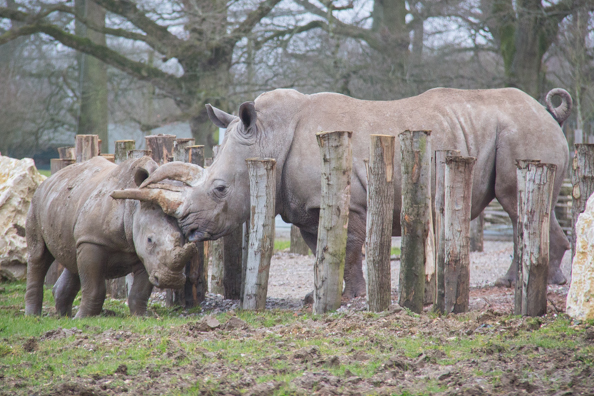 White rhinos at Marwell Zoo in Hampshire