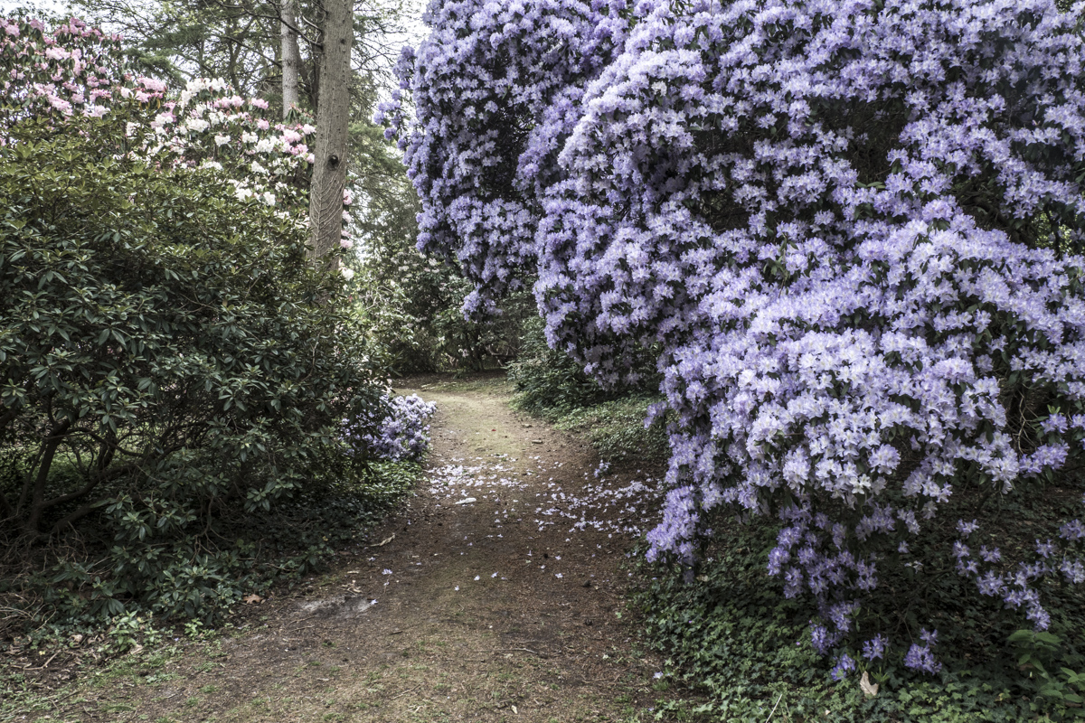 Rhododendrons at Hilliers Gardens in the Test Valley in Hampshire   5033275
