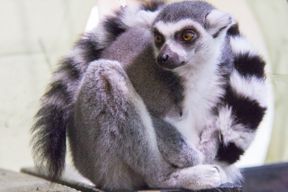 Ring-tailed lemur in Marwell Zoo in Hampshire