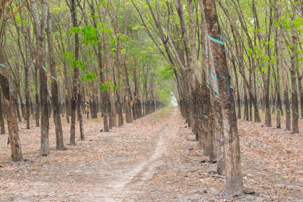 Rubber plantation near the Cu Chi tunnels in Vietnam
