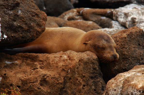 Sea lion asleep but ready to spring into action in the Galapagos Islands
