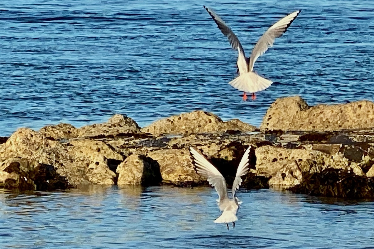 Seagulls Fishing in Poole Harbour, Dorset